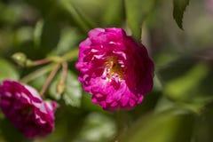 Floribunda淡粉红色 库存图片