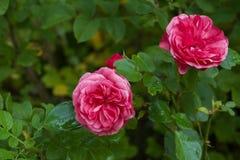 Floribunda红色玫瑰开花与雨水滴在庭院 作为背景绿色植物 特写镜头 库存图片