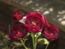 Floribunda 'Cinco de Mayo' di Rosa Immagini Stock Libere da Diritti