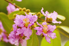Floribunda de Lagerstroemia Photos stock