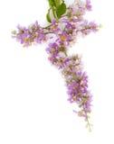 Floribunda del Lagerstroemia Foto de archivo libre de regalías