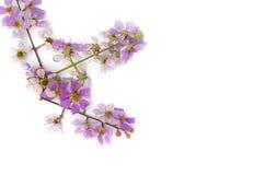 Floribunda del Lagerstroemia Fotografía de archivo