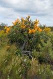 Floribunda del Nuytsia, parque nacional del río de Fitzgerald, Australia occidental Imagen de archivo
