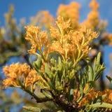 Floribunda del Nuytsia, parque nacional del río de Fitzgerald, Australia occidental Fotos de archivo libres de regalías