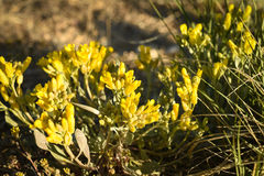 Floribunda del Physaria de Bladderpod de la montaña Imagen de archivo libre de regalías