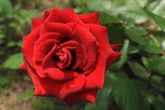 Floribunda delle rose rosse Immagine Stock Libera da Diritti