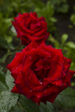 Floribunda delle rose rosse Fotografia Stock Libera da Diritti