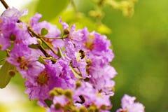 Floribunda di Lagerstroemia Immagine Stock