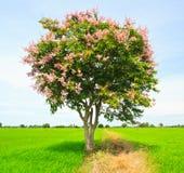 Floribunda di Lagerstroemia o albero di San Bartolomeo tailandese Fotografie Stock Libere da Diritti
