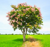 Floribunda do Lagerstroemia ou murta de crepe tailandesa Fotos de Stock Royalty Free