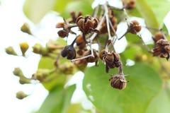 Floribunda Jack del Lagerstroemia Imágenes de archivo libres de regalías