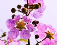 Floribunda Lagerstroemia, фиолетовые цветки - изображение запаса Стоковые Изображения RF