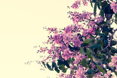 Floribunda Lagerstroemia, фиолетовые цветки - изображение запаса Стоковая Фотография RF