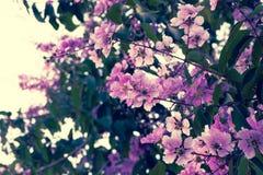 Floribunda Lagerstroemia, фиолетовые цветки - изображение запаса Стоковое фото RF