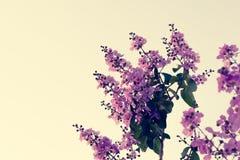 Floribunda Lagerstroemia, фиолетовые цветки - изображение запаса Стоковое Изображение RF