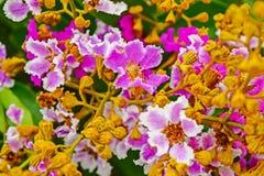 Floribunda Lagerstroemia Стоковое Изображение RF