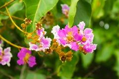 Floribunda Lagerstroemia Стоковая Фотография RF