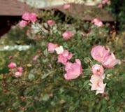 Rose bush floribunda – pink - Macea dendrological park - situated in the Arad county - Romania. Floribunda Latin for `many-flowering` is a modern group of royalty free stock photos