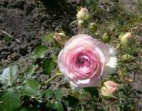 Rose Floribunda - Eutopia Garden - Arad, Romania stock photography