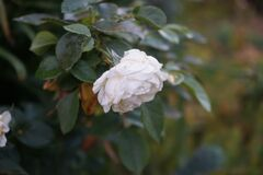 Free Floribunda `Lions-Rose` Kordes 2002 Is One Of The Most Beautiful White Floribunda Roses. Berlin, Germany Stock Photos - 190463013