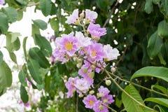 Floribunda o arbol de Jupiter tailandés, árbol del Lagerstroemia con púrpura Imagen de archivo