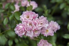 Floribunda roze rozen in de tuin royalty-vrije stock afbeelding