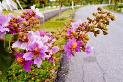 Floribundabloem die aan de kant van joggingsteeg bloeien Royalty-vrije Stock Afbeeldingen