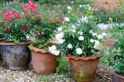 Floribundas rose in pot Royalty Free Stock Photo