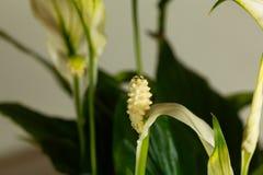 Floribundum Spathiphyllum цветка лилии мира Стоковые Изображения