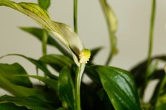 Floribundum Spathiphyllum цветка лилии мира Стоковое фото RF