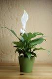 floribundum spathiphyllum 免版税图库摄影