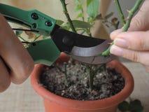 Floricoltura domestica Potatura stagionale delle piante La coltivazione delle rose Immagine Stock Libera da Diritti