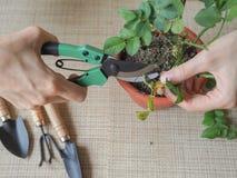 Floricoltura domestica Potatura stagionale delle piante La coltivazione delle rose Fotografie Stock Libere da Diritti