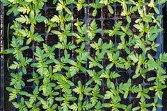 Floricultura coltivata del tagete del germoglio sul vassoio Fotografia Stock