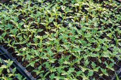 Floricultura coltivata del tagete del germoglio sul vassoio Fotografie Stock Libere da Diritti