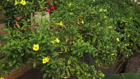 Floricultura gialla della petunia su un recinto stock footage