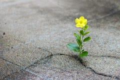 Floricultura gialla sulla via della crepa, concetto di speranza fotografia stock