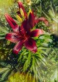 Florid лилия освещенная солнечным светом среди зеленых растений стоковое фото rf