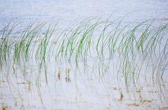 Florida湖的开阔水域的里德植物 库存照片