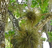 Florida Air Plants, Spanish Moss. Airplants (Bromeliads) and Spanish moss in central Florida trees. Many air plants are threatened or endangered due to a non Royalty Free Stock Photography