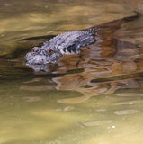 Florida Aligators Crocodiles Everglades Royalty Free Stock Photo