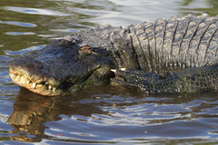Florida Aligators Crocodiles Everglades Stock Images