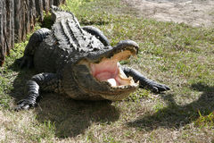 Florida Alligator. Gatorland Farm Royalty Free Stock Photos
