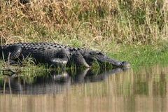 Florida Alligator. Florida Aligator in Myakka State Park, Sarasota, FL stock photos