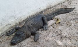 Florida-Alligator Stockbilder