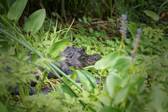 Florida alligator Arkivbilder