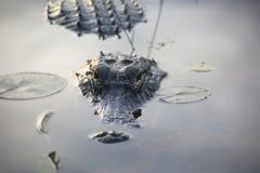 Florida-Alligator im Wasser Stockbild