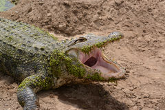 Florida alligator with mouth wide open. On sandy shoreline Royalty Free Stock Photo
