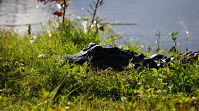 Florida Alligator Stock Photography