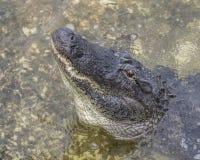 Florida alligator som ut låter en hög morrande Arkivfoton